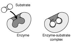 enzymen-en-kankercellen